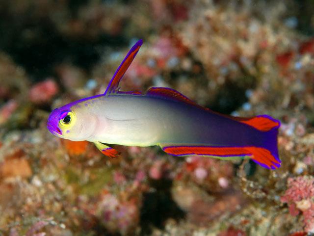 Purple fire goby nemateleotris decora for Purple saltwater fish