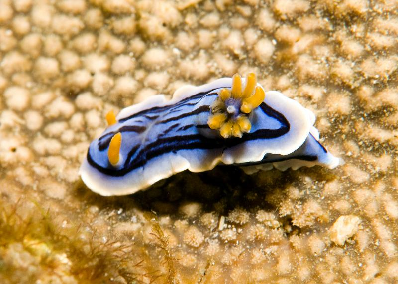 Chromodoris_sp2.jpg