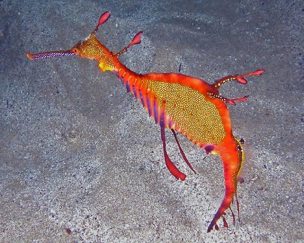 seahorse7