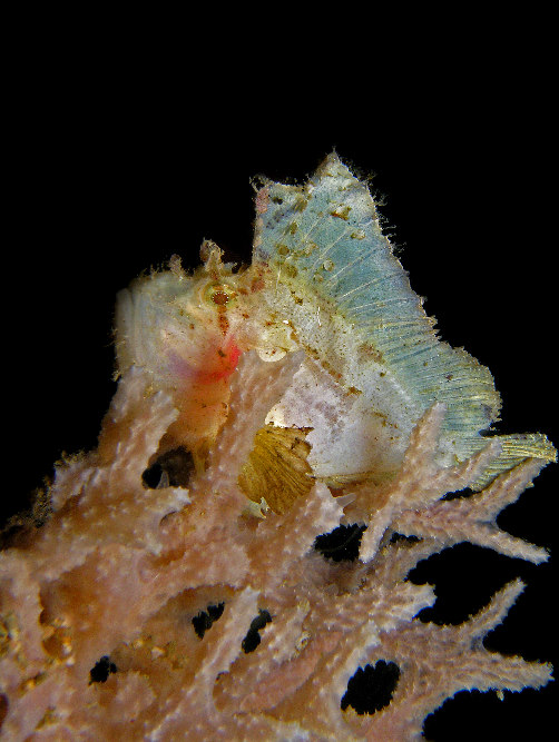 leaf scorpionfish-#34