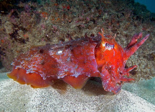 Giant Tasmanian King Crab Pseudocarinus   SeaExcom