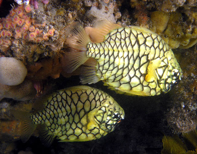 Pineapple Fish Cleidopus Gloriamaris
