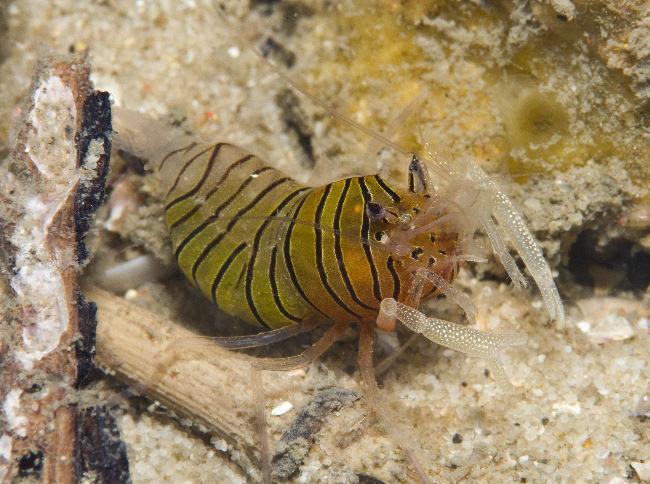Crustacean species of Nelson Bay