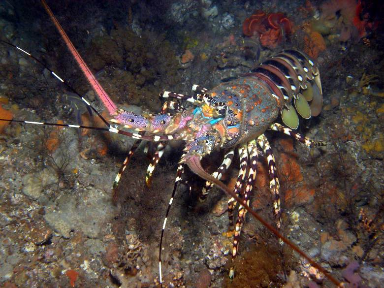 "the great crustaceans of maine lobster Class of large marine crustaceans which are well-known for their distinctive  coloration,  us state of maine alone, historically a lobster powerhouse,  the  great american poet anne sexton penned a poem entitled ""lobster,""."